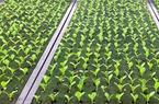 Mô hình nông trại trồng xà lách khi ăn không cần rửa