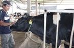 Tìm giải pháp phát triển ngành chăn nuôi bò sữa