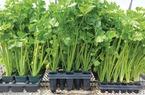 Các bước để có vườn rau cần tây xanh mướt tại nhà