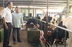Nuôi bò sữa chất lượng cao, mỗi năm lãi gần 1 tỉ đồng
