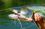 Mô hình nuôi cá leo trong ao đất ở Con Cuông