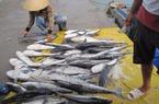 Tìm nguyên nhân khiến cá bớp ở Cà Mau chết hàng loạt