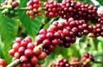 Giá nông sản hôm nay (28.7): Cà phê mất mốc 46.000 đồng/kg, giá tiêu vẫn tiếp đà tăng mạnh