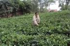 Nhà nông Sóc Sơn liên kết trồng chè, chăn nuôi gà đồi
