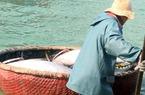 Đầu năm Mậu Tuất vươn khơi, ngư dân Phú Yên trúng đậm cá ngừ đại dương
