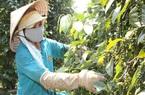 Hưởng thuế 0% từ EVFTA, cà phê xuất khẩu vẫn chưa thể tận dụng