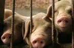 Gánh hậu quả dịch tả lợn Châu Phi, giá lợn Trung Quốc tháng 9 tăng phi mã