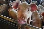 Lạm phát giá thịt lợn tại Trung Quốc là cơ hội cho nông dân Mỹ kiếm tiền