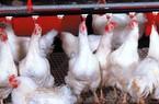"""Nghịch cảnh: Giá gà """"chạm đáy"""" trong khi thức ăn chăn nuôi không ngừng tăng cao"""