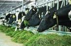 Bò sữa tại resort của Vinamilk cũng... ăn Tết