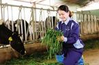 """Nữ 8X nuôi bò """"6 không"""", mơ về dòng sữa sạch"""
