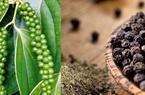 Thị trường nông sản 1/4: Giá cà phê, hồ tiêu tăng trở lại