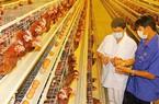 Giá gà rẻ… như cho: Hệ lụy của tăng trưởng nóng