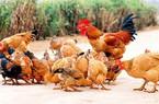 Giá gà rẻ hơn giá rau