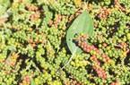 """Giá tiêu lại giảm, giải pháp nào cho những vườn """"tiêu chết"""""""