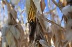 Đàm phán Mỹ Trung tiến triển, vì sao nông nghiệp Mỹ vẫn chưa thấy cửa sáng?