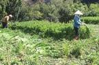 Giá rau giảm mạnh, 500 đồng/kg ở Đà Lạt