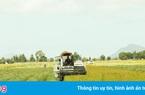 Lúa ngon nổi tiếng thế giới ST24 được mùa