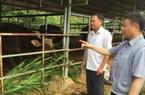 Sẽ bàn giao đàn bò tót lai F1 cho Vườn Quốc gia Ninh Thuận