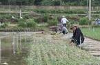 """Quảng Ngãi: Bão lụt băm nát cánh đồng trồng thứ cây ví như """"vàng tím"""", người dân Lý Sơn mất hàng trăm tỷ"""