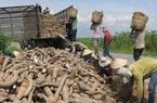 Xuất khẩu tinh bột sắn sang Trung Quốc: Tháng 7 tăng vọt 73%, tháng 8 lao dốc