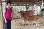Điện Biên: Thông tin hỗ trợ bò gầy yếu là không chính xác