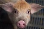 """Chủng virus Corona từ lợn ở Trung Quốc có thể """"nhảy"""" sang người"""
