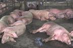 Tiêu hủy hơn 100 con heo nhiễm dịch tả lợn châu Phi ở Gia Lai