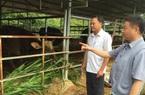 Sức khỏe đàn bò tót lai quý hiếm đã cải thiện