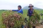Quảng Ngãi: Hỗ trợ hiệu quả, thôn bản thoát cảnh đặc biệt khó khăn, nhiều xã còn về đích nông thôn mới