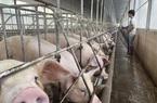 Giá heo hơi hôm nay 21/10: Nhiều địa phương giảm nhẹ, miền Bắc giá lợn hơi thấp nhất