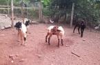 Thái Nguyên: Nuôi con tai dài tới mõm chỉ ăn cỏ, ăn lá, cứ bán 1 con ông nông dân này lãi 1 triệu đồng