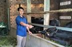 """Nuôi giống bò to bự, """"trơn lông đỏ da"""", con nào cũng nặng 4-6 tạ, một nông dân tỉnh Bình Định trúng lớn"""