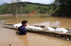 Kon Tum: Thủy điện tích nước, nông dân phát hoảng vì cà phê, cao su bỏ phế