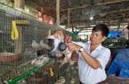 Kiếm nửa tỉ đồng mỗi năm từ nuôi bồ câu