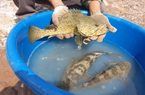 Nam Định: Vì sao đàn cá mú đặc sản gần 1.000 tấn ở đây  con nào cũng gầy đi trông thấy, nông dân lo?
