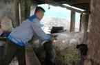 Hội Nông dân tỉnh Hòa Bình: Trao tặng lợn giống, vật tư chăn nuôi cho hội viên