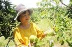 Đồng Nai: Nông dân tỷ phú làm nên những vườn cây ăn trái bạc tỷ, có vườn mảng cầu quả rất to