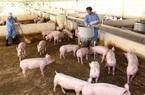"""""""Đại gia"""" chăn nuôi lợn lãi nghìn tỷ, """"tay ngang"""" Hoà Phát cũng bắt đầu hái """"lộc"""""""