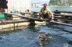 Sản vật biển tỉnh Quảng Ninh: Nuôi loài cá giò con to như bắp đùi người lớn, thịt ngọt, giá mềm là vì điều này