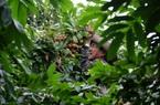 Bà Rịa-Vũng Tàu: Nhãn rớt giá còn 7.000 đồng/kg, nông dân khóc vì lỗ mất chiếc ô tô