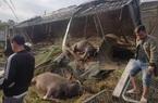 Thái Nguyên: Tông vào lan can đường, xe chở trâu lật nhào