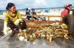 Phú Yên: Dân nuôi tôm hùm khóc cạn nước mắt bởi lũ  cuốn ồ ạt, tôm chết do sốc lũ bán rẻ mạt