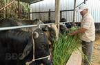 Bình Định: MG là giống cỏ gì mà cho bò 3B ăn vào nhanh lớn, bò 3B mau to bự?