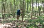Đại biểu Quốc hội KSor H'Bơ Khăp nói tiêu, cà phê cũng tính vào tỷ lệ che phủ rừng, Tổng cục Lâm nghiệp phủ nhận