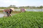 Hà Nội: Trồng thứ rau ăn giòn sần sật, mỗi ngày cắt bán hàng tạ thu tiền tươi, xây được nhà to