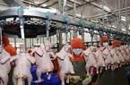 """Thịt gà Việt Nam sắp """"vi vu"""" Singapore và Hong Kong"""