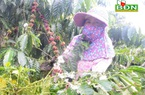"""Đắk Nông: Vườn cà phê bỗng xuất hiện tình trạng """"vừa chửa, vừa đẻ, vừa nuôi con"""", ngành chức năng khuyến cáo thế nào?"""