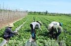 Năm 2020: Thu nhập nông dân Hà Nội dự kiến đạt 55 triệu đồng/người