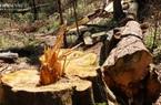 ẢNH-CLIP: Rừng bạch tùng trăm tuổi bị cưa hạ không thương tiếc